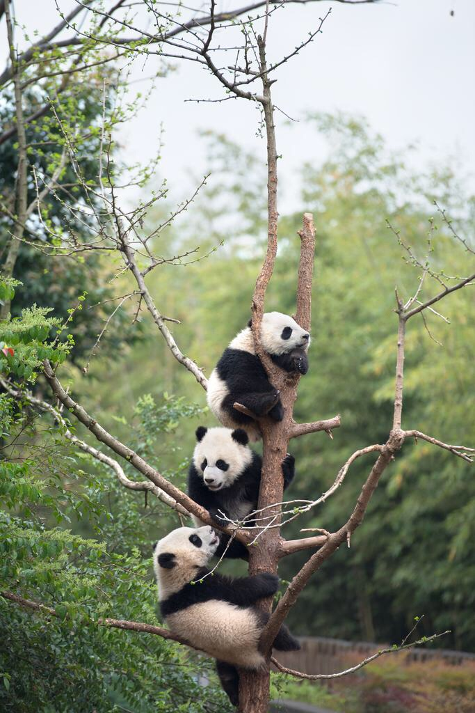 Giant Panda Cubs from IMAX movie PANDAS