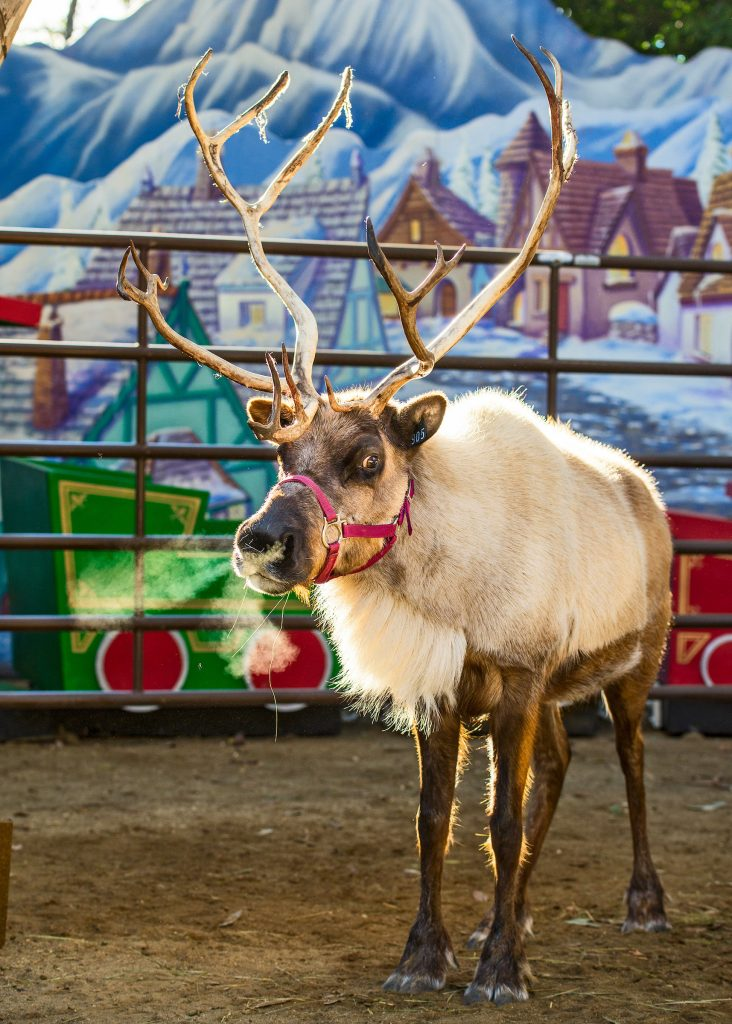 LA Zoo Reindeer Los Angeles Christmas